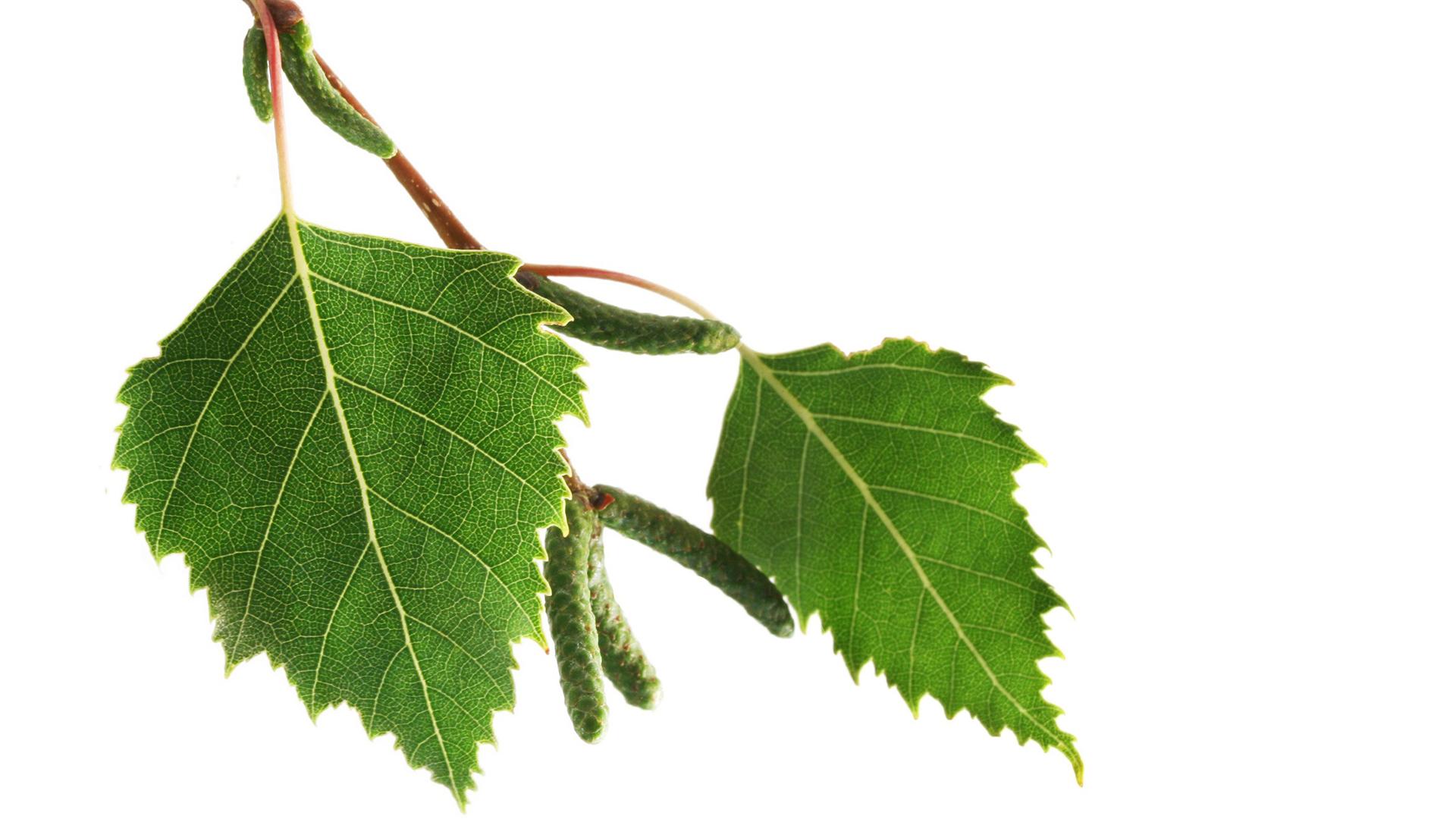 frunze de mesteacan din varicoză